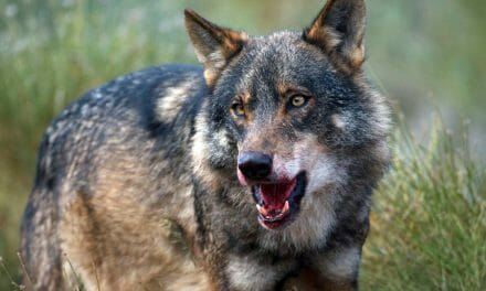 Green Party: Say, what Ireland needs is: More Wolves