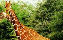 British Labour MP claims nearly all male giraffes are gay