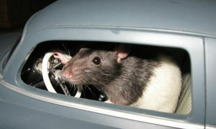 Good news: They've taught rats how to drive cars, and the rats love it