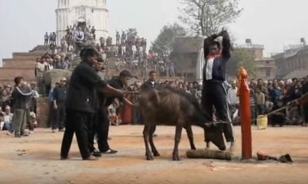World's 'largest animal sacrifice' begins at Hindu temple