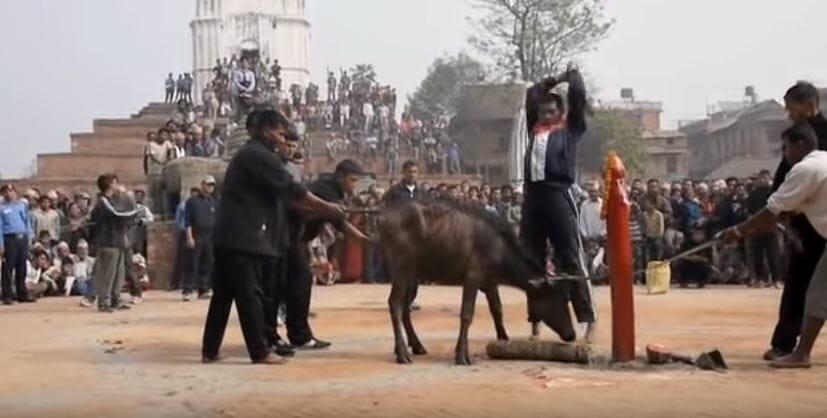 World's 'largest animal sacrifice' begins at Hindu temple