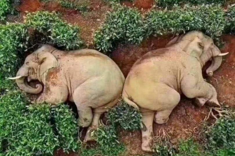 Drunk elephants find the wine during coronavirus lockdown